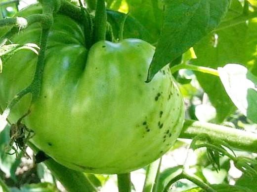 болезни томатов помидоров бактериальная крапчатость