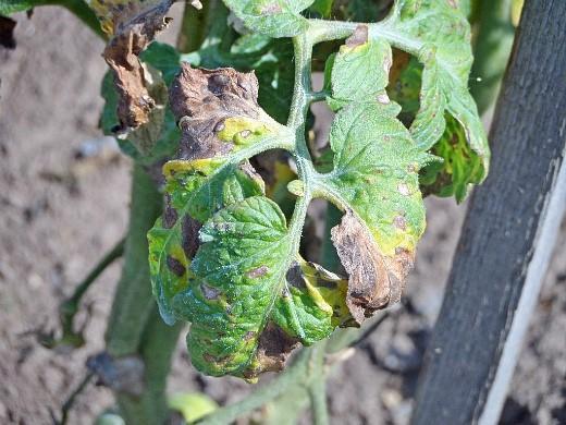 болезни томатов помидоров фитофтороз