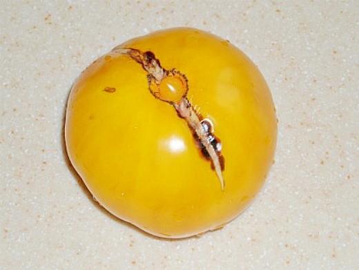 болезни томатов помидоров растрескивание плодов