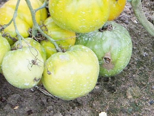 болезни томатов помидоров серая гниль