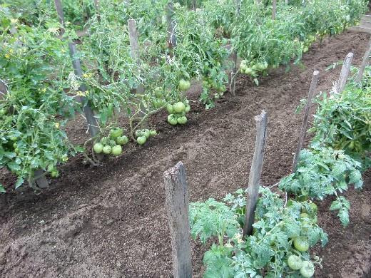 посадки помидор по методу миттлайдера на огородной грядке в открытом грунте