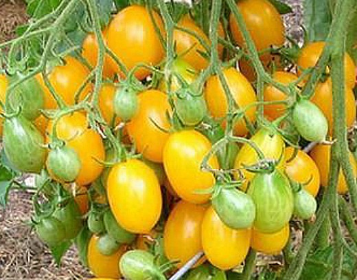 лучшие сорта томатов для теплиц - медовая капля