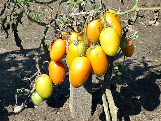 посадка и выращивание томатов в открытом грунте - почти спелые помидоры