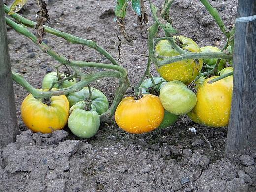 подвязка помидоров, спеет желтый сорт