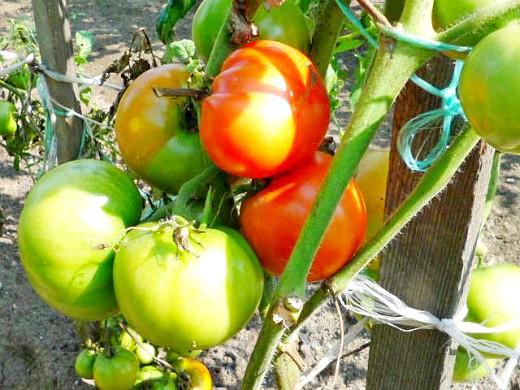 лучшие сорта томатов для теплиц и открытого грунта - подвязанные помидоры на огородной грядке