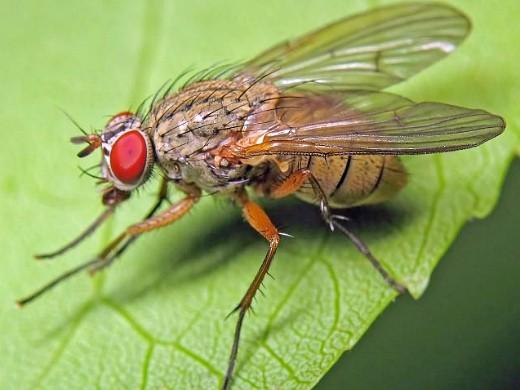 вредители капусты капустная муха