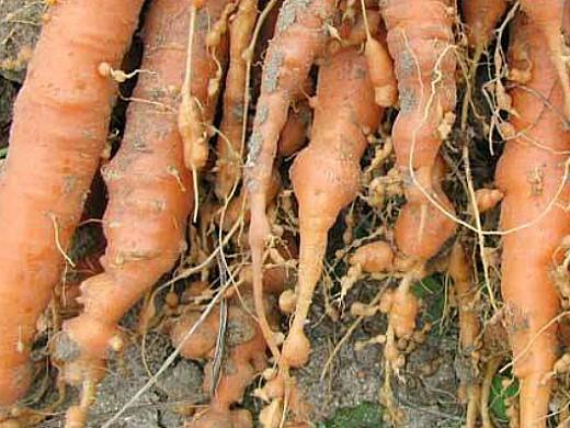 вредители моркови галловая нематода