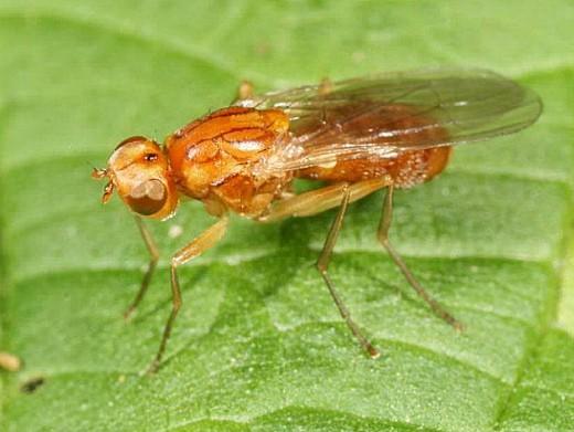 вредители моркови морковная муха