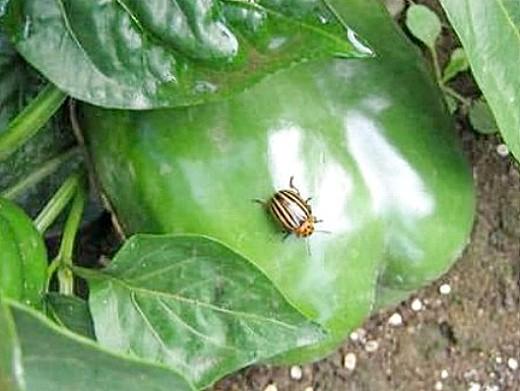 вредители сладкого перца колорадский жук