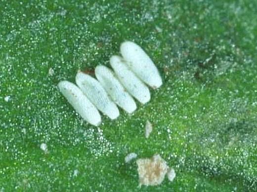 вредители свеклы личинки свекловичной мухи