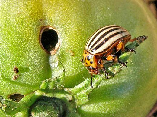 вредители томатов помидоров колорадский жук