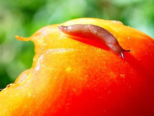 вредители томатов помидоров слизни