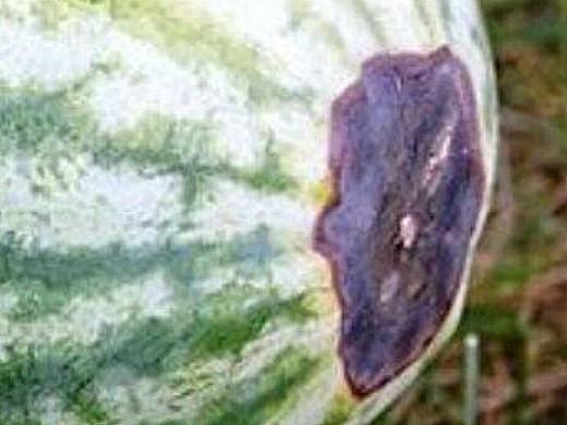 болезни арбузов черная гниль