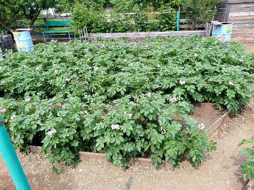 болезни и вредители картофеля - картофельные грядки по миттлайдеру