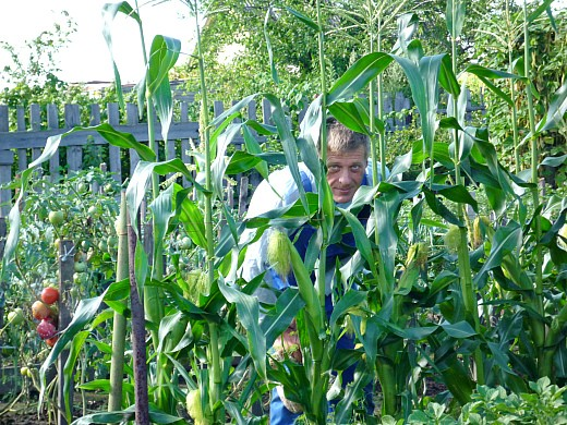 болезни и вредители кукурузы - грядка кукурузы на дачном огороде