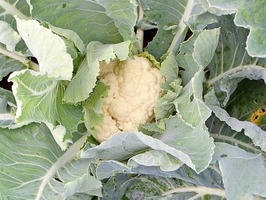 болезни и вредители цветной капусты - будущий урожай