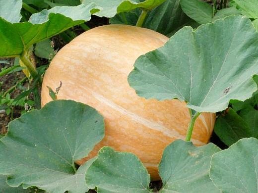 болезни и вредители тыквы - тыква на грядке в огороде