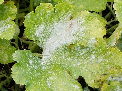 болезни кабачков ложная мучнистая роса