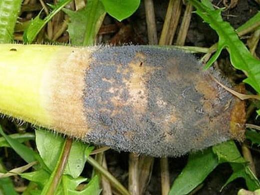 болезни кабачков серая гниль