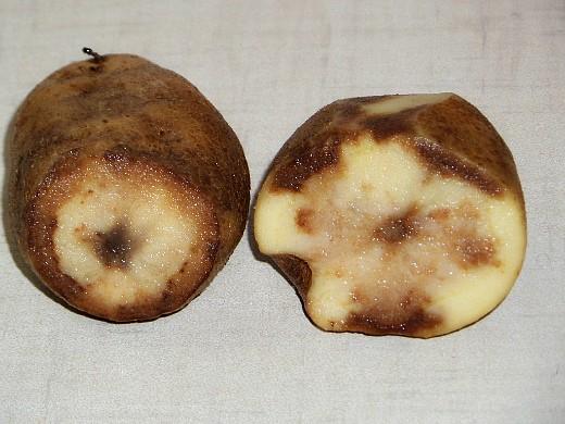 болезни картофеля мокрая гниль