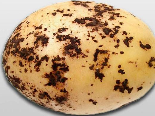болезни картофеля ризоктониоз
