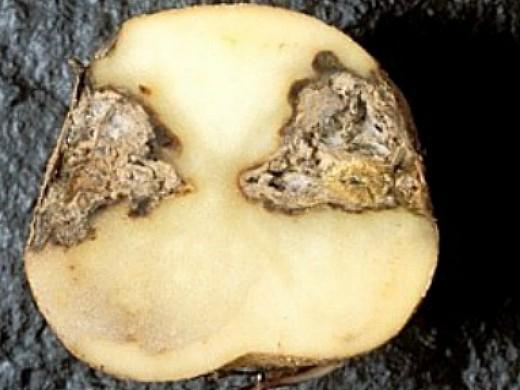 болезни картофеля сухая гниль