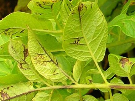болезни картофеля вирусные мозаика