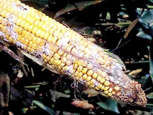 болезни кукурузы фузариоз початков