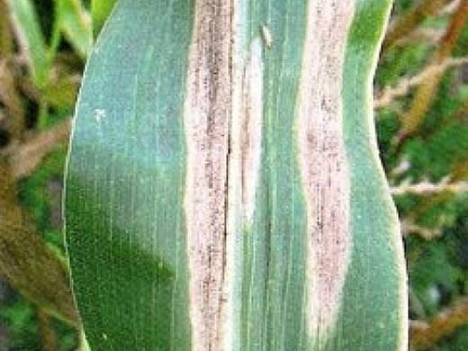 болезни кукурузы гельминтоспориоз