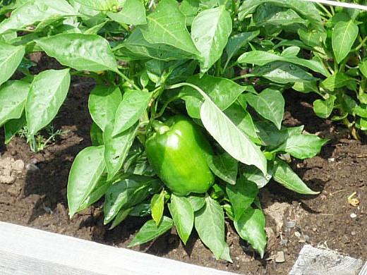 пока что ещё зеленый перец в дачном парнике