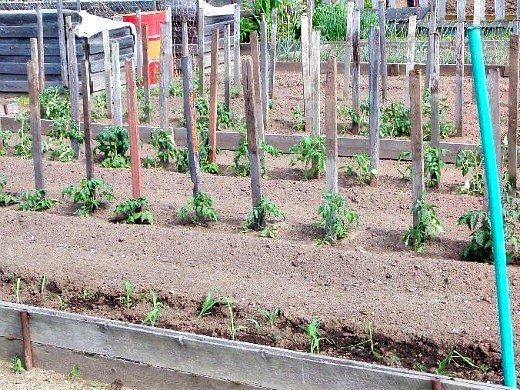 особенности выращивания томатов помидоров в открытом грунте