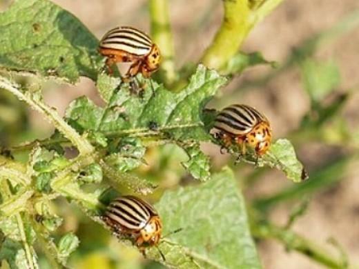 вредители картофеля колорадский жук