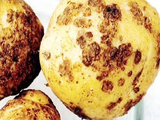 вредители картофеля нематода