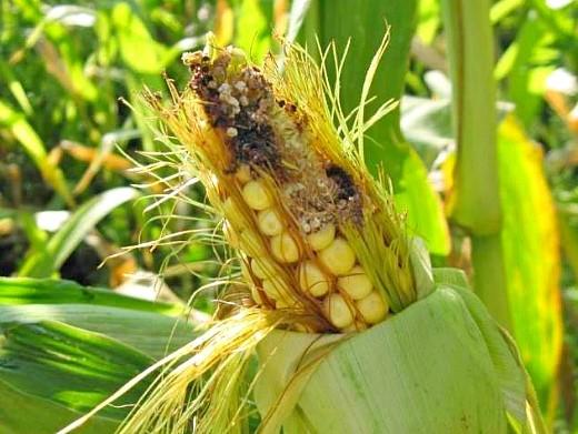 вредители кукурузы хлопковая совка