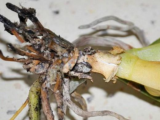 вредители лука корневой клещ