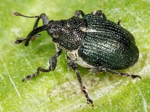 вредители лука жук-скрытнохоботник