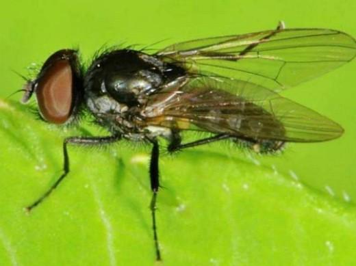 вредители тыквы ростковая муха