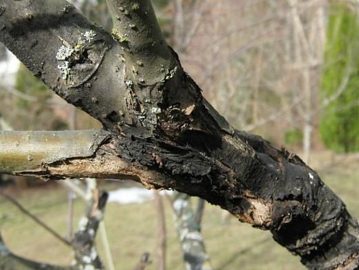 болезни деревьев черный рак