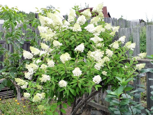 что посадить в тени на даче - гортензия садовая