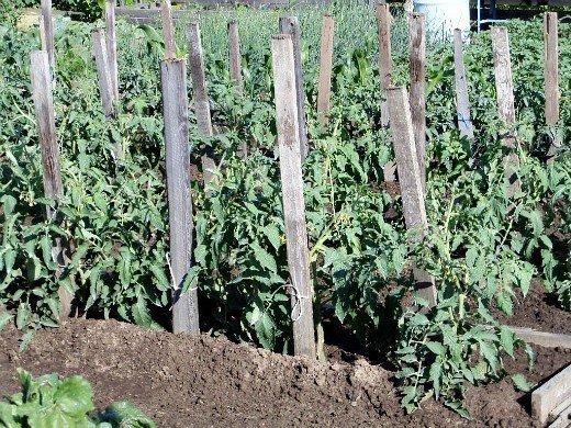 формирование томатов помидоров по мере роста - подвязка в открытом грунте