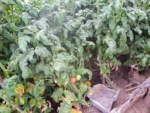 формирование томатов помидоров по мере роста - подвязка в теплице