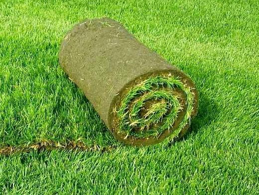 какой выбрать газон сеянный или рулонный 5