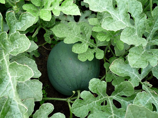 календарь работ в саду и огороде летом 14