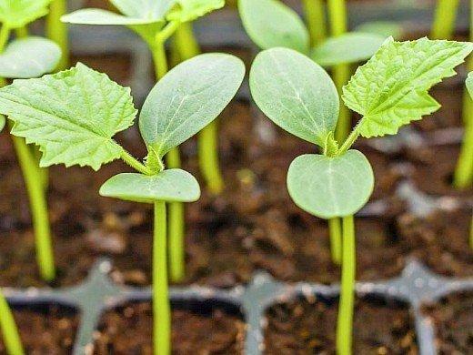 посадка огурцов семенами и рассадой в открытом грунте, теплице - рассада