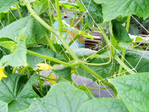 посадка огурцов семенами в теплице