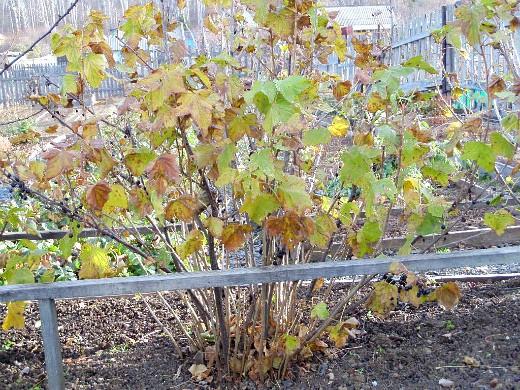 уход за деревьями и кустарниками осенью 1-6