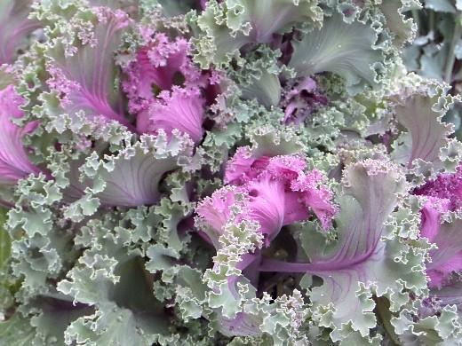 декоративная капуста, выращивание и уход - прекрасная брассика