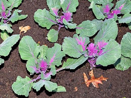 декоративная капуста, выращивание и уход - посадка рассады