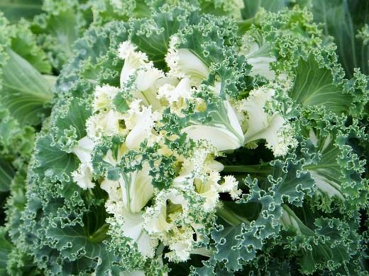 декоративная капуста, выращивание и уход - чудо брассика
