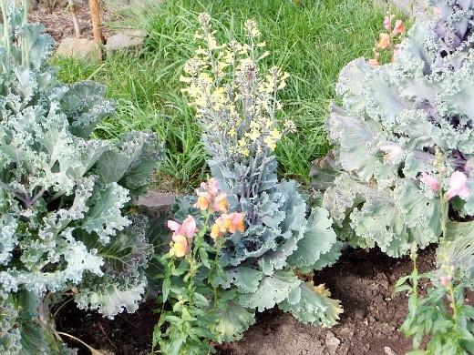 декоративная капуста, выращивание и уход - цветение